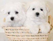KC Great maltese Puppies 75% European Due 2012