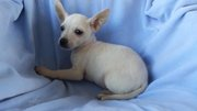 Fawn/ White Smooth Coat Pedigree Tea Cup Chihuahua Pups.