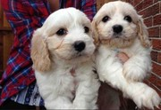 Cavachon Puppies Ready Now