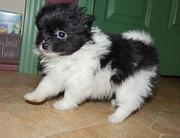 Toy BL & Wh Parti Pomeranian female.....
