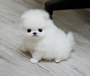 FDRES friendly,  and sociable Pomeranian For Sale CALL 07031957695