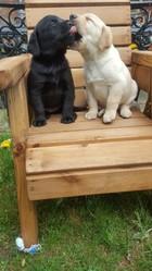 Yellow & Black Pure Bred (Labrador) for sale