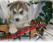 lovely Siberian Husky puppies for you all very caring pups