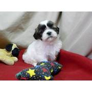 Excellent Shih Tzu Puppies looking for new homes Now